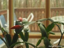 180-buds-christmas-cactus-1-20181202_009