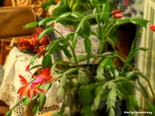 180-Buds-Still-Christmas Cactus-3-20181201_203