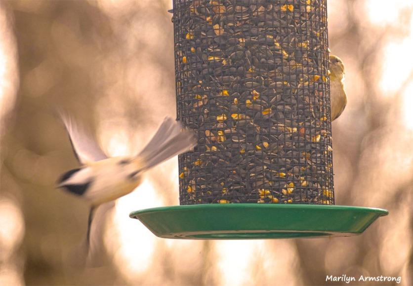 180-Diving-Chickadee-Many-Birds-20181206_128