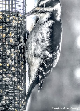 180-Downy-Woodpecker--20181210_234