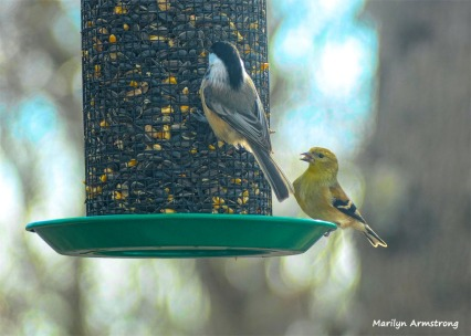 180-Gold-Finch-Chickadee-Newer-Birds-20181206_315