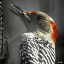 180-Head-Red-Headed-Woodpecker20181122_003