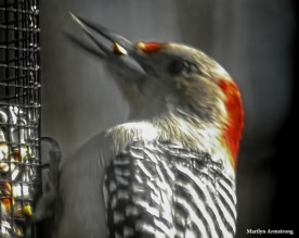 180-Head-Red-Headed-Woodpecker20181122_003