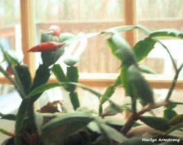 180-impressionist-buds-christmas-cactus-1-20181202_001