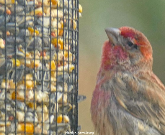 180-Red-Finch-Bird-20181128_035