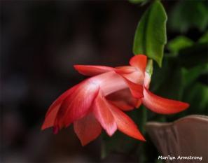 300-Macro-Pink-New-Year-Cactus-12312018_305
