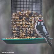 300-Newer-Square-Woodpecker-Monday-Birds-12172018_309