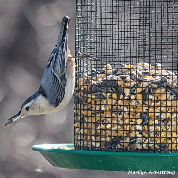 300-Sqiare-Nuthatch-Last-Sunday-Birds-12302018_227