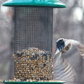 300-Square-Fly-Away-Woodpecker-Last-Sunday-Birds-12292018_202