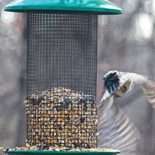 300-Square-Fly-Away-Woodpecker-Last-Sunday-Birds-12292018_202