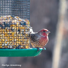 300-Square-Last-Sunday-Red-Finch-12302018_236