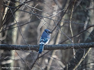 350-Blue-Jay-2-Wednesday-Birds-12192018_014.jpg