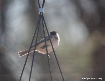 350-Chickadee-2-Tuesday-Birds-12182018_032