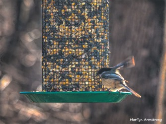 350-Chickadee-In-for-a-landing-4th-Thursday-Birds-12272018_106