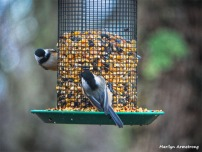 350-Chickadees-Sat-12-22-Birds-12222018_014
