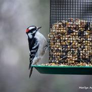 350-Downy-Woodpecker-Monday-Birds-New-Lens-12172018_315