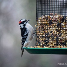 350-Downy-Woodpecker-Monday-Birds-New-Lens-12172018_315