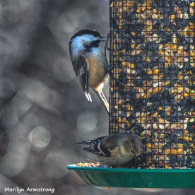 Chickadee and Goldfinch