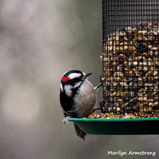 350-Square-Woodpecker-Monday-Birds-New-Lens-12172018_316