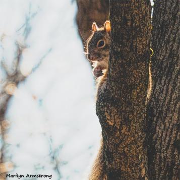 350-SquareSquirrel-in-Tree-12232018_114
