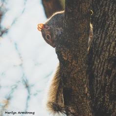 350-SquareSquirrel-in-Tree-12232018_115