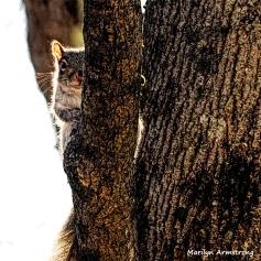 350-SquareSquirrel-in-Tree-12232018_116
