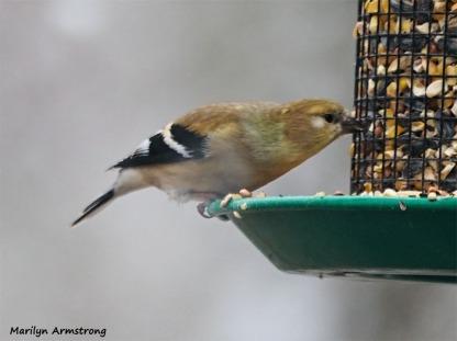 350-Warbler-Xmas-Eve-Birds-12242018_055