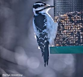 350-Woodpecker-2-Tuesday-Birds-12182018_009