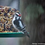 350-Woodpecker-Monday-Birds-New-Lens-12172018_312