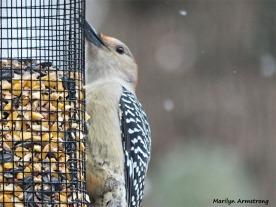 350-Woodpecker-Xmas-Eve-Birds-12242018_047