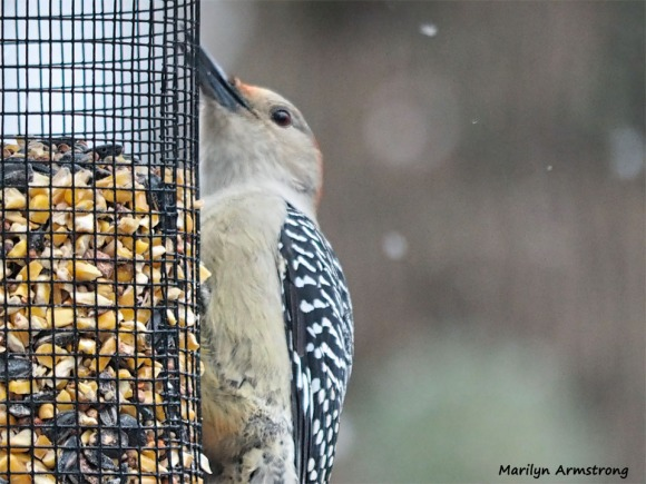 350-Woodpecker-Xmas-Eve-Birds-12242018_047