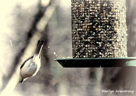 300-bw-diving-chickadee-first-sunday-birds-01062019_020