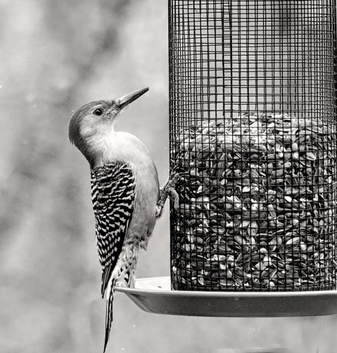 300-bw-sketch-ladderback-redhed-woodpecker-final-tuesday-birds-01292019_216