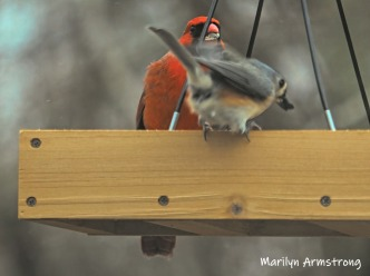 300-cardinal-and-titmouse-final-tuesday-birds-01292019_108