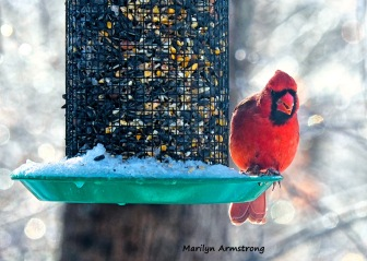 300-cardinal-frozen-monday-birds-01212019_01