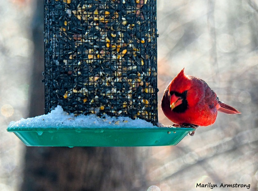 And the big red Cardinal