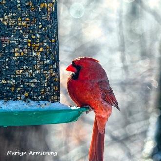 300-cardinal-frozen-monday-birds-01212019_059
