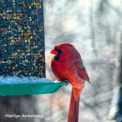 300-cardinal-frozen-monday-birds-01212019_059
