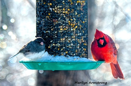 300-cardinal-junco-frozen-monday-birds-01212019_023