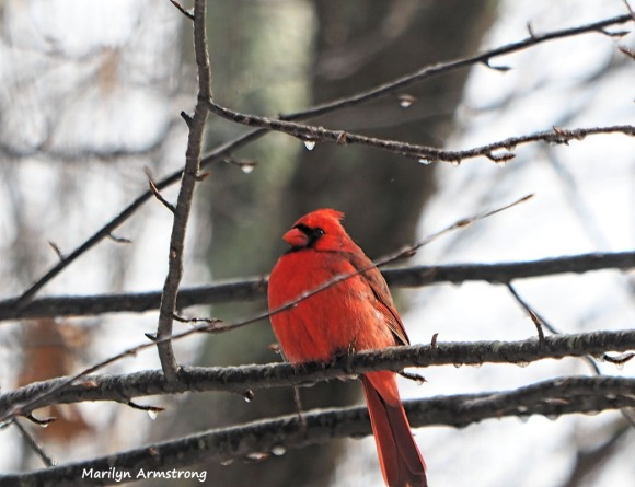300-cardinal-on-branch-hungry-birds-01212019_020