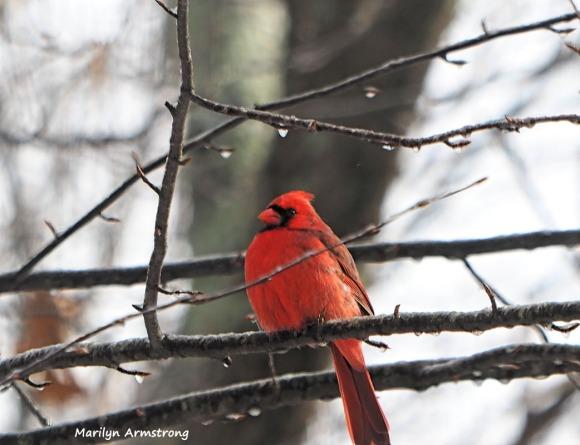 Cardinal, well-fed!