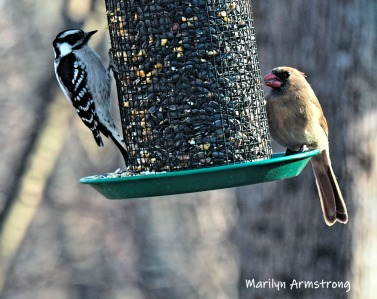 Sharing the feeder - Lady Cardinal and Downy Woodpecker