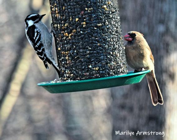 300-cardinal-woodpecker-saturday-4-birds-01262019_015