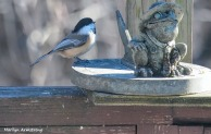 300-chickadee-and-toad-sunday-2-birds-01122019_005