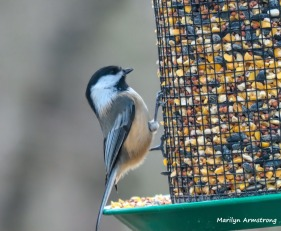 And the inevitable chickadee because there are so many here ...
