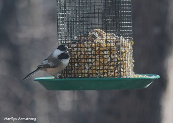 300-chickadee-sunday-2-birds-01122019_034