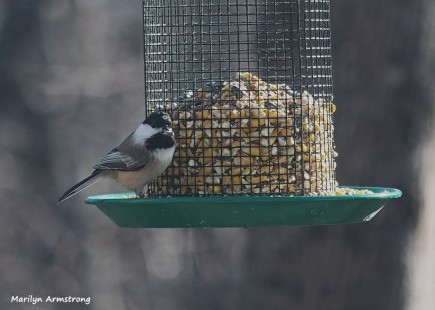 300-chickadee-sunday-2-birds-01122019_034