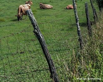 300-cows-in-field-farm-081614_02