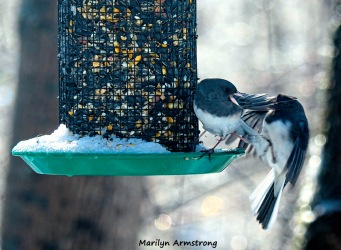 300-fighting-juncos-frozen-monday-birds-01212019_035