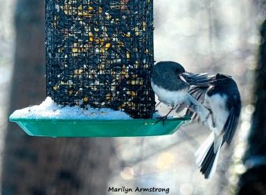 300-fighting-juncos-frozen-monday-birds-01212019_035